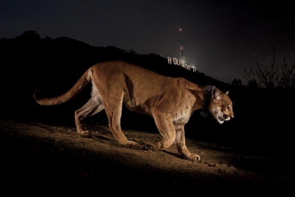 Cougar, Hollywood, California_CR Steve Winter