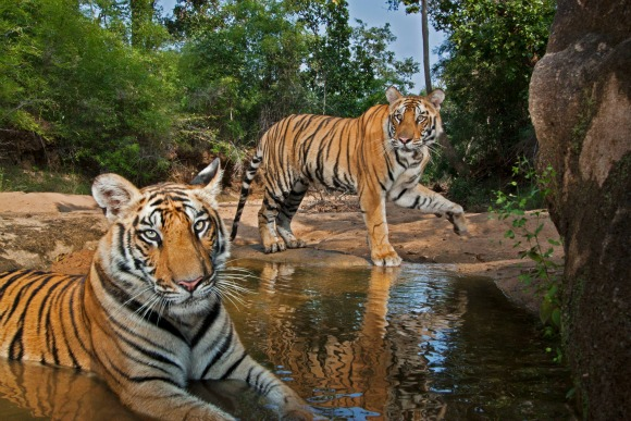 Mirchani Tigress cubs at the Patpara Nala waterhole camera trap.