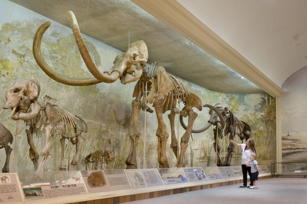 mammoth skeleton in museum